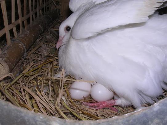 Trứng chim bồ câu